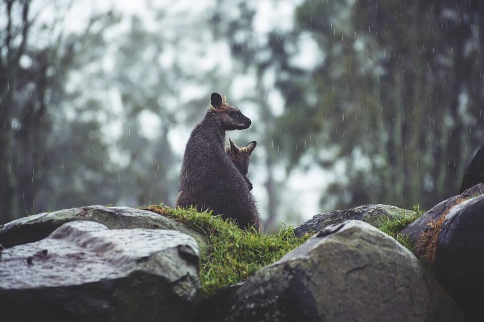 Pair of kangaroos