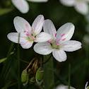 Virginia Springbeauty (Eastern Spring Beauty)