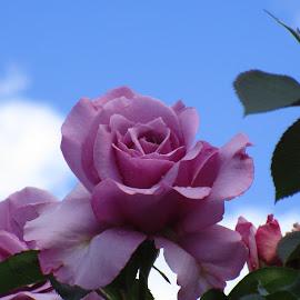 by Lisa Attas - Flowers Single Flower