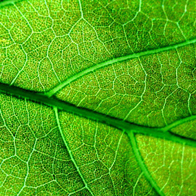 Leaf Macro by Nelson Moses - Nature Up Close Leaves & Grasses ( detail, macro, green, leaf, close up )