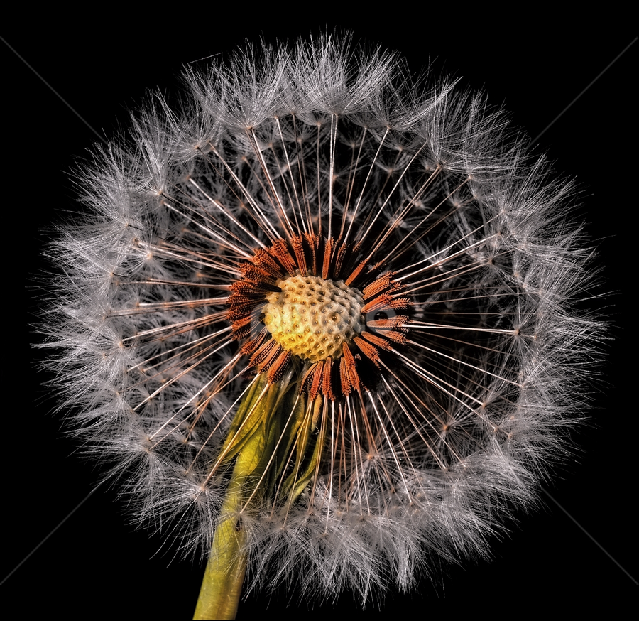 dandelion by Ivan Rusek - Nature Up Close Other plants ( dandelion, on black, dandelion fluff, black )