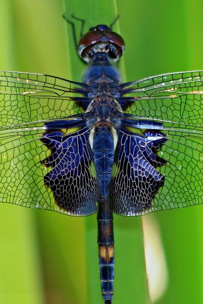 "Photo: Odonata a Day 125/365  The blue-green light gave the ""black"" parts of this black saddlebags dragonfly (Tramea lacerata) a nice navy cast.  #MacroMonday (+Macro Monday +Kerry Murphy +Jennifer Eden +Kelli Seeger Kim) #OdonataPoker (+viviane godenne) #BugsEveryday (+BugsEveryday +Chris Mallory) #OdeADay (+Kimberly Hosey)"