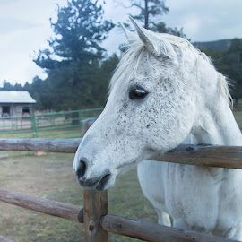by Kelley Hurwitz Ahr - Animals Horses ( estes park )