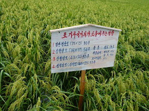 Photo: Farmers in the Pyongyang region experiment with spacing (above). One farm manager calculated that SRI methods can produce 1 ton more paddy yield per hectare, and save 20,000 won per hectare [Photo by: Wuna Reilly]