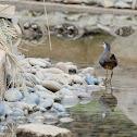 Amaurornis phoenicurus 白胸苦惡鳥