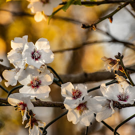 Almond blossom by Pixie Simona - Flowers Tree Blossoms ( almond flower, flowers, tree blossom, golden hour, almond blossom, flower,  )