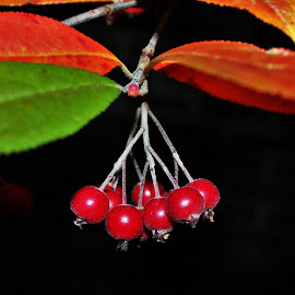 Autumn Berries by Carolyn Taylor - Nature Up Close Other plants (  )