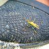 Rice earhead bug