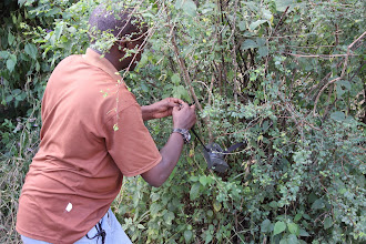 Photo: Dominic setting up a camera trap