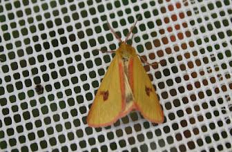 Photo: Diacrisia sannio    Lepidoptera > Erebidae