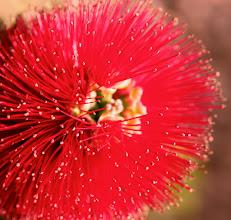 Photo: Bottle Brush, Bursting Bloom