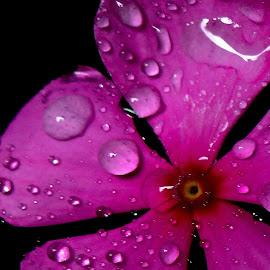 Drops on petals by Asif Bora - Nature Up Close Natural Waterdrops (  )
