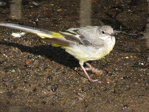 Photo: 14 Aug 13 Wood Lane: Sideways-on the long tail, continually pumped, was too fast for the camera to freeze in the available light. It is doing the foot-stomp too! But this shows the yellow on the rump and undertail. Wagtails are named after the back colour, hence this is a Grey Wagtail and not a Yellow Wagtail. (Ed Wilson)