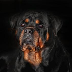 Bronson by Karen Harrison - Animals - Dogs Portraits ( rottie, stud, dog, portrait, mammal, rottweiler, animal,  )