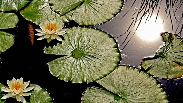 Fiori d' acqua di mariarosa-bc