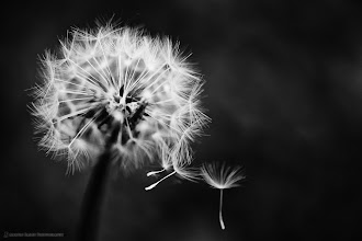 Photo: OK, so if today is #dandelionday , here's another shot from my Best of Japan Nature collection (http://mbp.ac/gpbjn). One of my favorite Dandelion shots. :-)  #photography #Japan #Nature #Flower