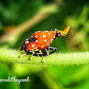 spotted lanternfly nymph