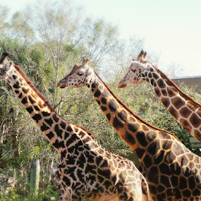 Three Giraffes:  Everybody look to the Left by Cheryl Beaudoin - Animals Other Mammals ( spots, zoo, giraffe, three, brown, trio, skin, mammal, animal, giraffes,  )