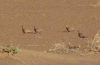 Photo: Grandule coronata - Pterocles coronatus - Crowned Sandgrouse