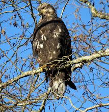 Photo: Immature Bald Eagle