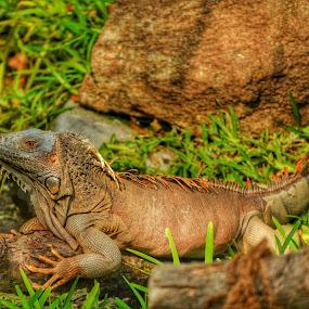 iguana by Sankar GM - Animals Reptiles ( lizard, bushes, iguana, reptile, golden )