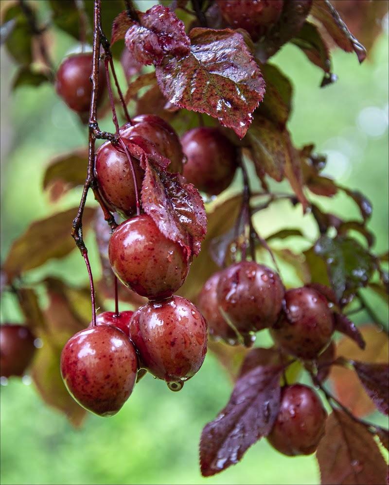 Frutti rossi di AnnieMorgan