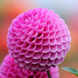 Dahlia 985 by Raphael RaCcoon - Flowers Single Flower