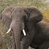 Elefante africano de sabana (African bush elephant)