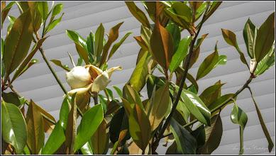 Photo: Magnolia grandiflora - din Turda, Piata 1 decembrie 1918, spatiu verde - 2019.06.04