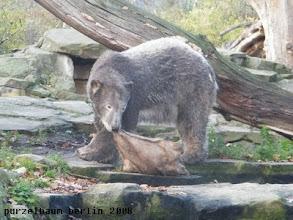 Photo: Ein kohlrabenschwarzer Knut widmet sich dem Jutesack :-)