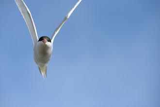 Photo: Arctic Tern (Küstenseeschwalbe); Grindavik, ISL