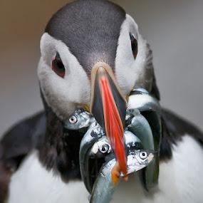 Puffin Puffin by Evžen Takač - Animals Birds ( fish, food, reefs, wildlife, atlantic puffin, birds, runde, norway )