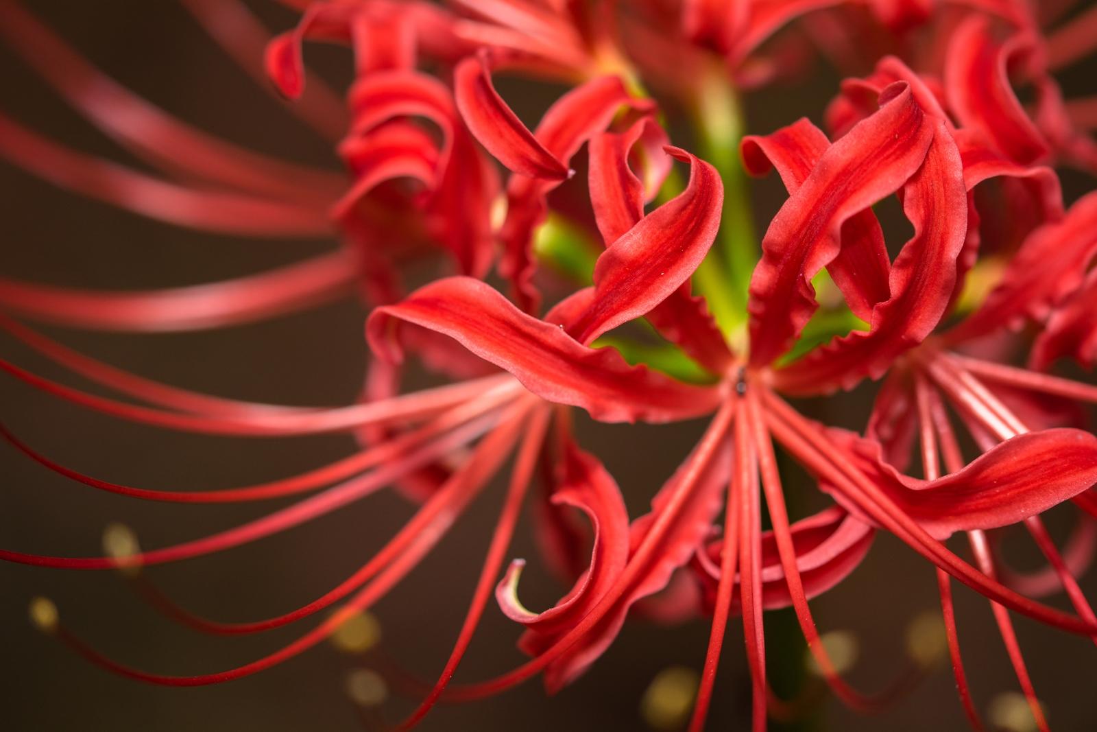 Photo: 燃えるように赤を咲かせて Blooming flamingly.  林の中でひっそりと 静かに灯る炎のように ふつふつと魅せる 目が覚めるような鮮烈な赤 気高き赤の花  Photo of red spider lily. (砧公園の彼岸花) Nikon D7100 MACRO 105mm F2.8 EX DG OS HSM #cooljapan #100tokyo #365cooljapanmay #東京フォト #tokyophoto #GPlusPhotoWalkJapan [ Day138, September 27th ] (3枚追加:Added 3 photo)