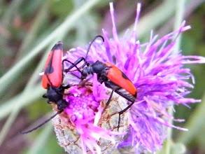 Photo: ANAPLORE CORDIGERA _ coléoptères - sur chardon.