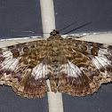 Letis Moth / Mariposa-Letis