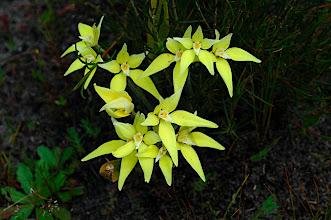Photo: Caladenia flava