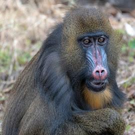 Mandrill by Bert Templeton - Animals Other Mammals ( primate, africa, monkey, ape, simian, mandrill, texas,  )