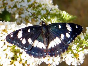 """Photo: Le """"sylvain azuré"""" sur fleurs de buddleia."""