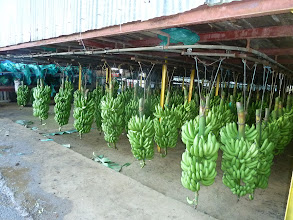 Photo: régimes bananes Plantation grand-café