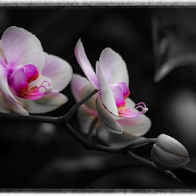 Orchids galore by Tammy Scott - Flowers Flower Buds ( flower up close, selective color, orchids, flowers, flower photography, flower )