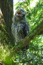 Photo: Barred Owlet yawning