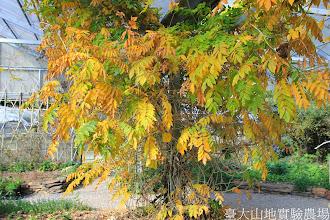 Photo: 拍攝地點: 梅峰-溫帶花卉區 拍攝植物: 紫藤 拍攝日期: 2014_11_25_FY