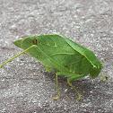 Lesser Angle-Winged Katydid