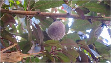 Photo: Piersic (Prunus persica) - de pe Str. Macilor - 2017.07.13