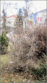 Photo: Alun (Corylus avellana 'Contorta)  - parcul din fata cladirii primariei - 2017.02.27