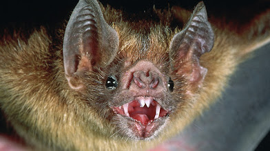 Photo: Vampire bats are common in Central and South America.   Vampire bats suck blood and share it with their close relatives and friends by gulping extra blood up. That way they can receive blood when they are in need of it. This is reciprocal altruism and a tit for tat strategy in a game theory called prisoners dilemma.  An experiment showed that bats will repay the tit with a similar tat. Some bats stomach was filled with air by the scientist. They looked like they had a lot of blood with them but they didn't give any to the pups of other bats. The other bats repaid the tit by not giving the bats pups blood when they had some themselves.  People: our cooperation and our society has evolved because tit for tat is mathematically the best option, we just have avoid and punish cheaters. There tactics will give you a win-win scenario and make you better off than people not cooperating. During WW1 many German and English trenches were friendly towards each other. As they individually were better of not shooting at each other.  Prisoners dilemma is one of the most important theories in psychology: https://www.youtube.com/watch?v=IotsMu1J8fA
