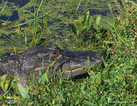 Photo: Alligator on the trail at Brazos Bend, east of Houston