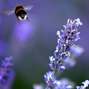 Leaving by Kristelle Matthew - Animals Insects & Spiders ( canon, bee, colors, outdoor, lavender, photography,  )