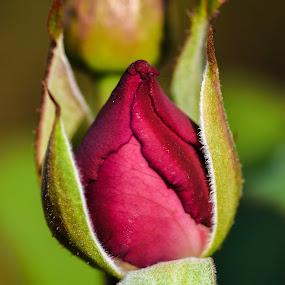by Terry Oviatt - Flowers Flower Buds
