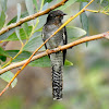 Indian plaintive cuckoo